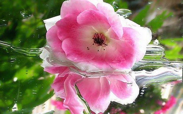 Balsam do ust z wody różanej