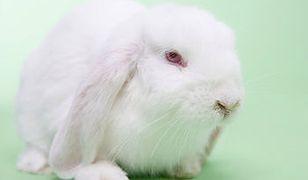 Miała w domu 250 królików - teraz ma zakaz zbliżania się