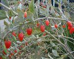 Sadzenie jagód goji