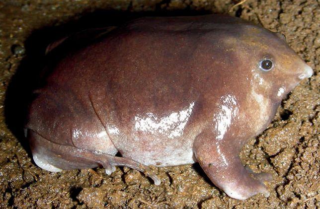 To nie jest zmutowany kret. Nowy gatunek żaby odkryty