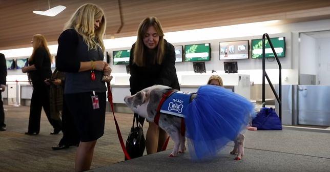 Lilou w trakcie pracy na lotnisku w San Francisco