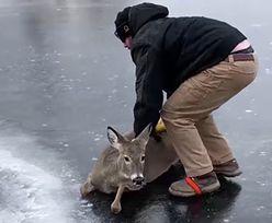 Jeleń znalazł się w prawdziwej pułapce. Nagle nadeszła pomoc