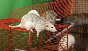 Szczury wykazują wiele podobieństw do ludzi.