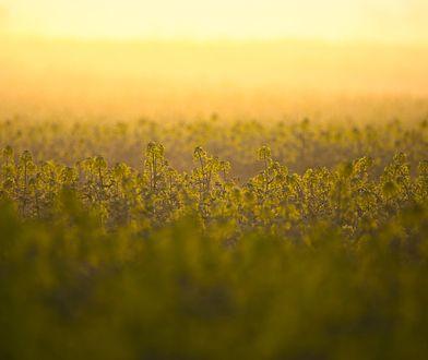 Mity na temat oleju rzepakowego – obalamy wszystkie