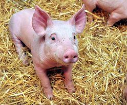 Przy pasie startowym pasą się świnie. Zatrudniło je lotnisko