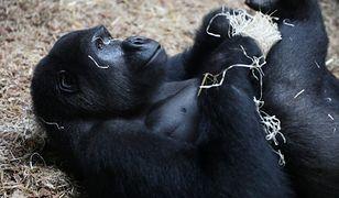 Naukowcy uważają, że małpy też są zagrożone koronawirusem.