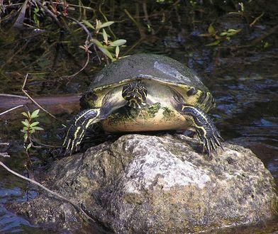 Na ratunek żółwiom błotnym. Zmiany w stołecznym ZOO