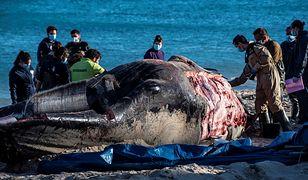Wieloryb pełen plastykowych odpadów został odnaleziony na plaży Cala Millor w Hiszpanii.