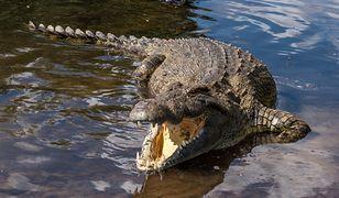 Czeska policja poszukuje krokodyla, który uciekł z hodowli. Mógł trafić do Odry