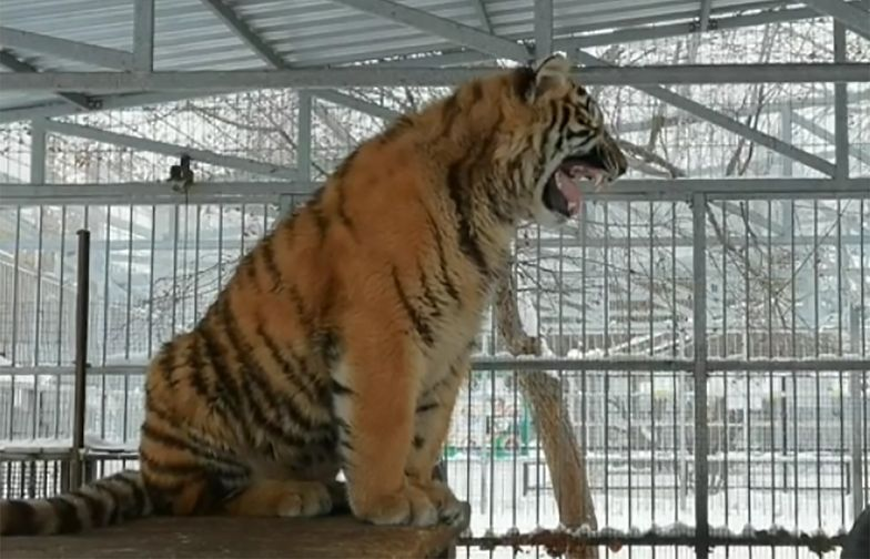 Śpiewający tygrys. Niecodzienna atrakcja w rosyjskim zoo