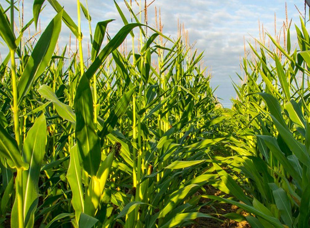 W miejscowości Guzów w powiecie żyrardowskim doszło do nieszczęśliwego wypadku podczas prac polowych na uprawie kukurydzy. Zginął 23-latek, operator kombajnu, który zahaczył o linię wysokiego napięcia