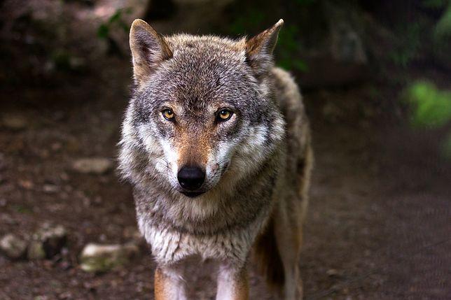 Atak watahy 7 wilków w Bieszczadach