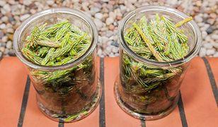 Syrop z młodych pędów sosny. Naturalne lekarstwo na przeziębienie