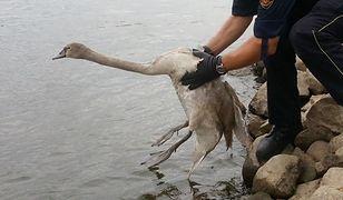 Warszawski Ekopatrol udzielił pomocy młodemu łabędziowi
