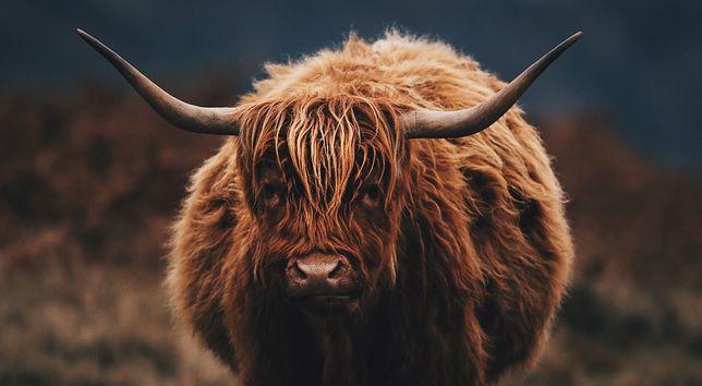 Stado krów rasy higland cattle sieje postrach w gminie Cybinka