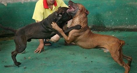 Walki psów (sport zakazany)