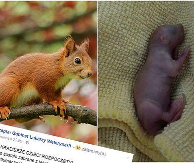 Polacy PORYWAJĄ... młode wiewiórki z lasu. Dramatyczny apel weterynarzy
