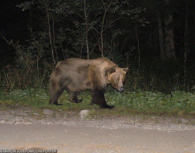 Tatry. Niedźwiedź podszedł do turystek na odległość 3 metrów