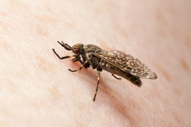 Jusznica deszczowa często nazywana jest muchą końską