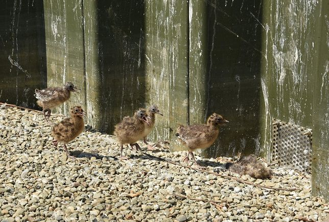 Śląskie. Sztuczna wyspa na goczałkowickim jeziorze spodobała się ptakom.