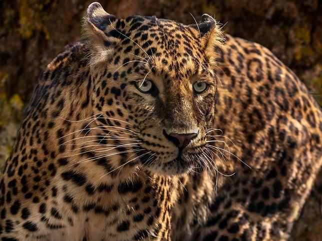 Atak jaguara w zoo w USA. Źródło: Pixabay/edmondlafoto