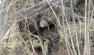 Niedźwiedź wpadł w pułapkę kłusowników