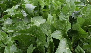 Podobnie jak korzeń chrzanu, również jego liście wykazują imponują wartości odżywcze