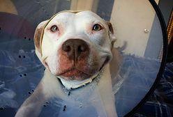 Oto Brinks - najbardziej uroczy pitbull, który od momentu adopcji nie przestaje... się uśmiechać