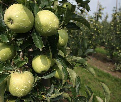 Polska ma fantastyczne warunki do uprawy jabłek - tłumaczą sadownicy.