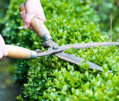 Wiosna w ogrodzie: cięcie żywopłotu