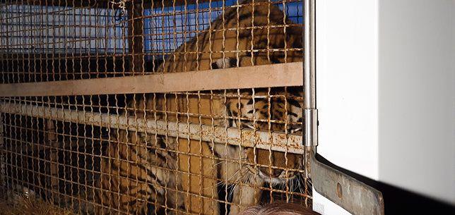 Tygrysy uwięzione na przejściu granicznym. 32-letni Rosjanin usłyszy zarzuty