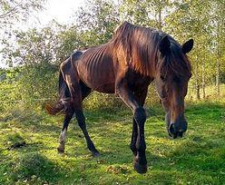 Zostawił konia w lesie na pewną śmierć. Sprawca poszukiwany