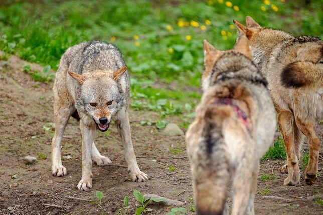 Wilki (zdjęcie poglądowe)