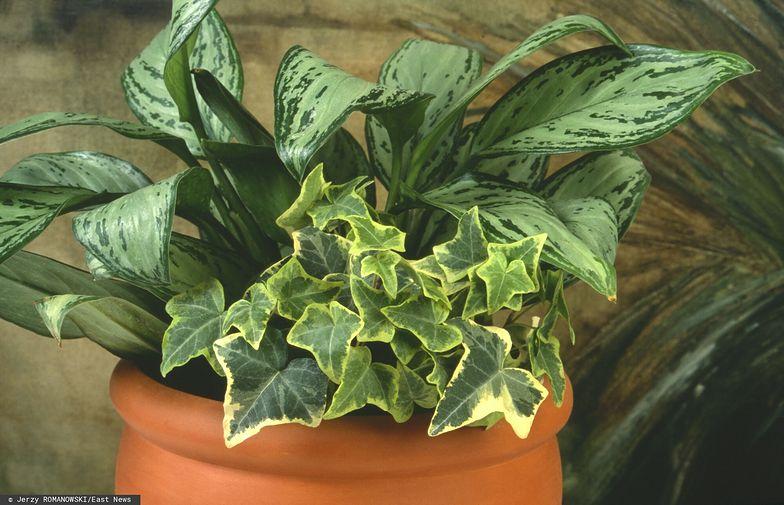 Ta roślina zawiera strychninę. Uważaj, jeśli masz ją w domu