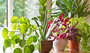 Domowe kwiaty doniczkowe mogą być zielone lub kwitnące