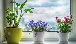 Każdy kwiatek doniczkowy wymaga specyficznej pielęgnacji