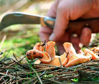 Zbieraj tylko te grzyby, co do których masz pewność, że są jadalne. Wahasz się? Nie ryzykuj!