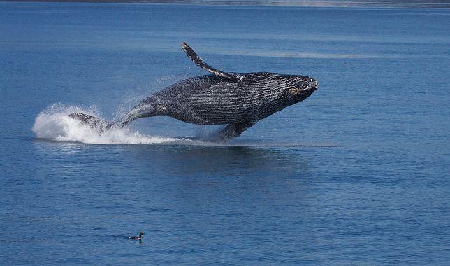 """Wieloryb """"zaatakował"""" kuter rybacki. Cztery osoby zostały ranne"""