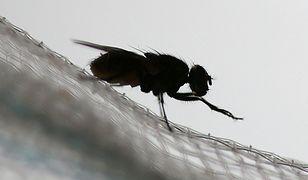 Muchy przenoszą setki bakterii