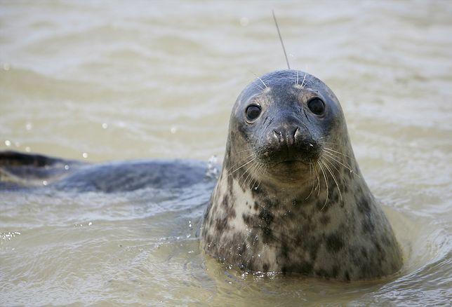 Jedna z fok, które naukowcy ze Stacji Morskiej na Helu, wypuścili na wolność w ramach programu odtworzenia kolonii fok szarych na południowym Bałtyku