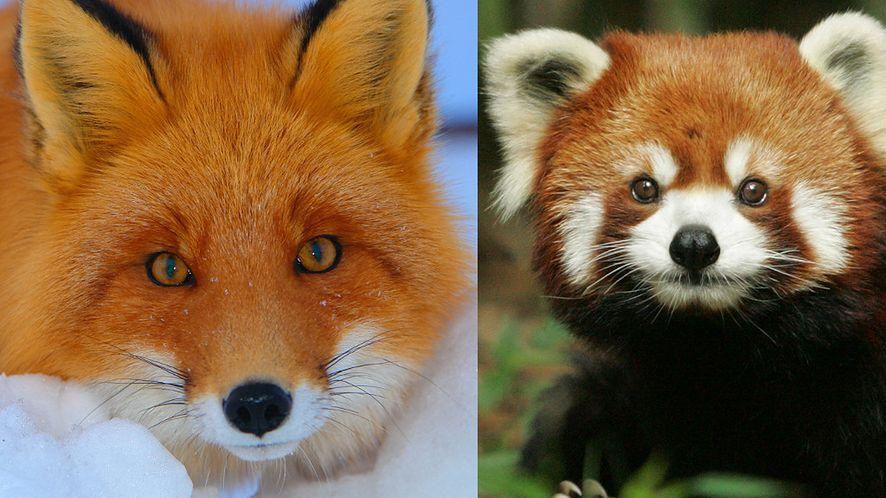 Lis czy panda mała? Kończymy z nieporozumieniami wokół Firefoksa