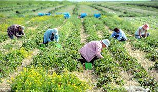 Wystąpienie z Unii nie pomaga brytyjskiemu rolnictwu. Brakuje pracowników, co może mieć poważne konsekwencje dla gospodarki kraju.