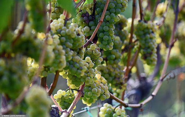 Winogrona wykorzystywane do produkcji wina