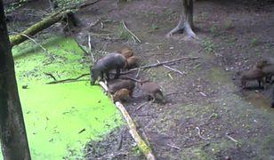 Dziki, lisy lub borsuki. Poznajcie życie zwierząt z warszawskich lasów [WIDEO]