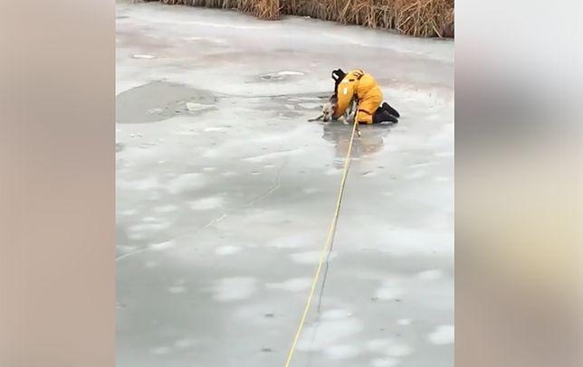 Lód załamał się pod psem. Strażak rzucił mu się na ratunek