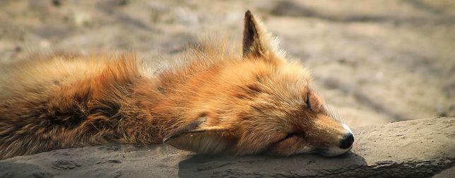 Władze Kołobrzegu chcą humanitarnie uśmiercać lisy