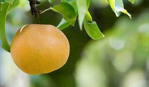 Gruszka Nashi to egzotyczny owoc, który z powodzeniem może być uprawiany w Polsce
