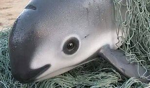 Morświn kalifornijski już wkrótce przestanie istnieć.