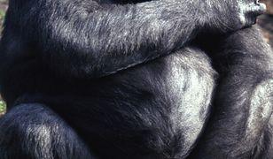 Czechy wyślą do Afryki 7 ton książek o gorylach