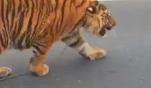 Wypadki z tygrysami w cyrkach są rzadkie, ale zazwyczaj bardzo niebezpieczne